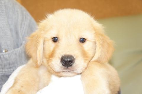 ゴールデンレトリバーの子犬の写真