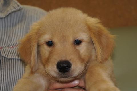ゴールデンレトリバーの子犬201207291