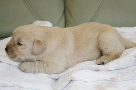 ゴールデンレトリバーの子犬の写真201302221-2