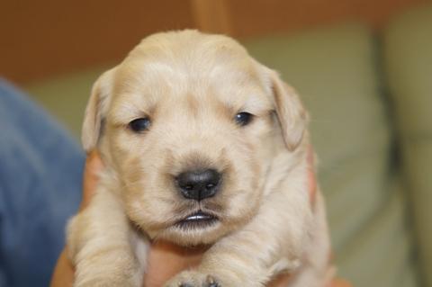 ゴールデンレトリバーの子犬の写真201302225