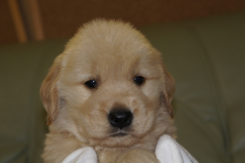 ゴールデンレトリバーの子犬の写真201302221