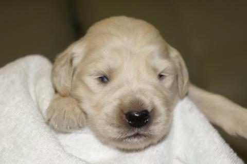 ゴールデンレトリバーの子犬の写真201303191