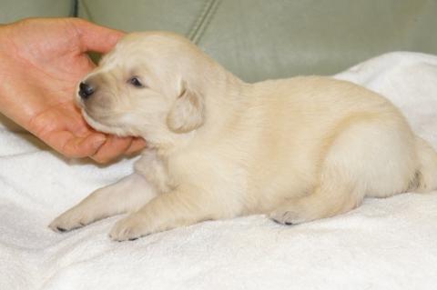 ゴールデンレトリバーの子犬の写真201303192-2