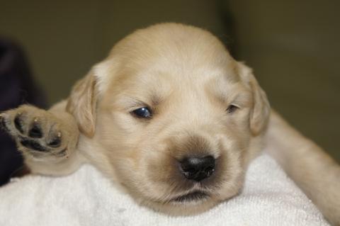 ゴールデンレトリバーの子犬の写真201303193