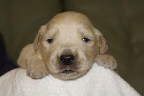 ゴールデンレトリバーの子犬の写真201303197