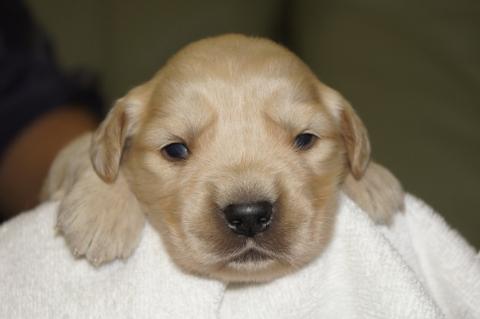 ゴールデンレトリバーの子犬の写真201303199