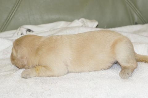 ゴールデンレトリバーの子犬の写真201303199-2