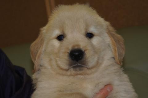 ゴールデンレトリバーの子犬の写真201302222