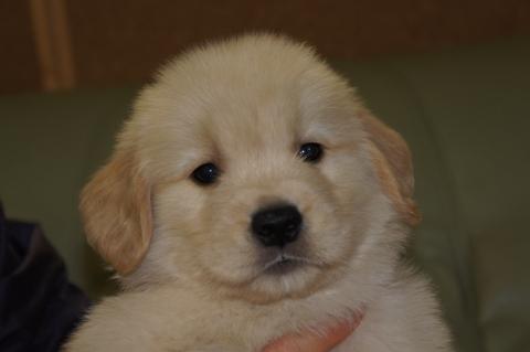 ゴールデンレトリバーの子犬の写真201302223