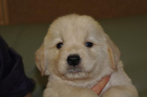 ゴールデンレトリバーの子犬の写真201302224
