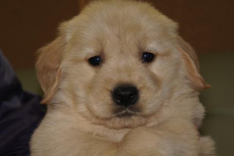ゴールデンレトリバーの子犬201302225