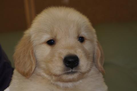 ゴールデンレトリバーの子犬201302221