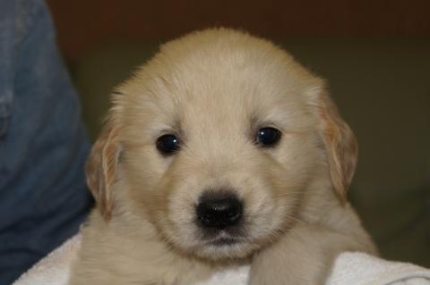 ゴールデンレトリバーの子犬201303197