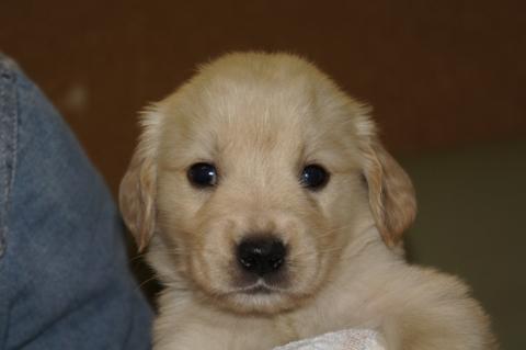 ゴールデンレトリバーの子犬の写真201303198