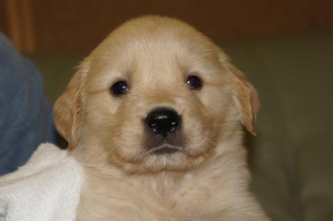 ゴールデンレトリバーの子犬201303199