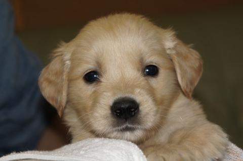 ゴールデンレトリバーの子犬2013031910