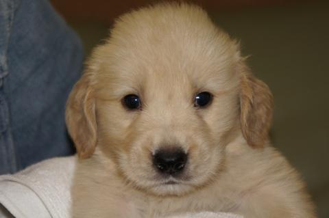 ゴールデンレトリバーの子犬の写真201303192