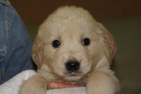 ゴールデンレトリバーの子犬201303193