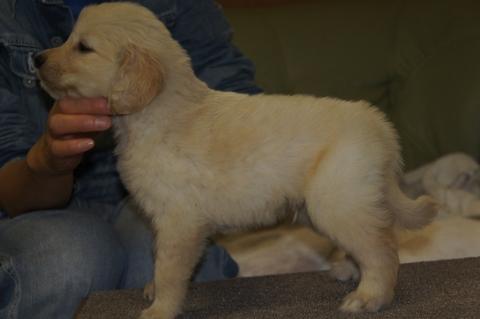 ゴールデンレトリバーの子犬の写真201303193-2