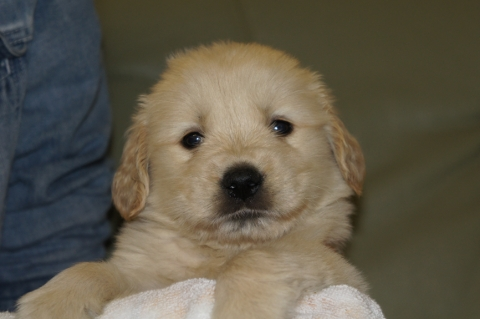 ゴールデンレトリバーの子犬の写真201303194
