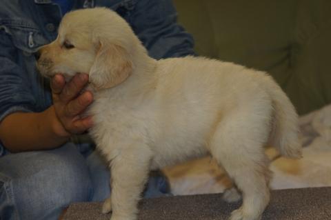 ゴールデンレトリバーの子犬の写真201303194-2