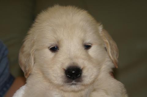 ゴールデンレトリバーの子犬201303191