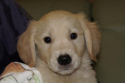 ゴールデンレトリバーの子犬201303196