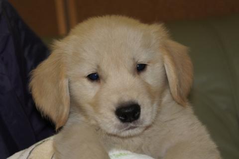 ゴールデンレトリバーの子犬201303195