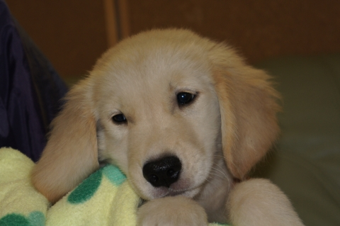 ゴールデンレトリバーの子犬の写真201303195
