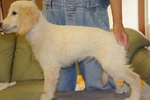 ゴールデンレトリバーの子犬の写真201303196-2