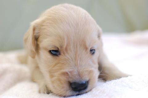 ゴールデンレトリバーの子犬の写真201306181