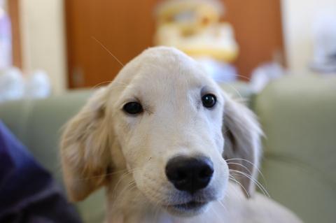 ゴールデンレトリバーの子犬の写真201303196