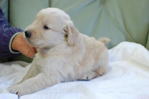 ゴールデンレトリバーの子犬の写真201306182-2