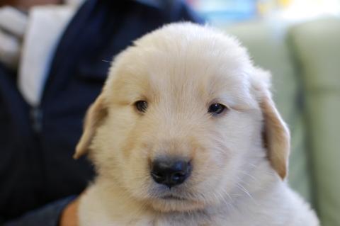 ゴールデンレトリバーの子犬の写真201306182