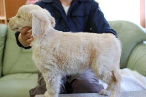 ゴールデンレトリバーの子犬の写真201306185-2