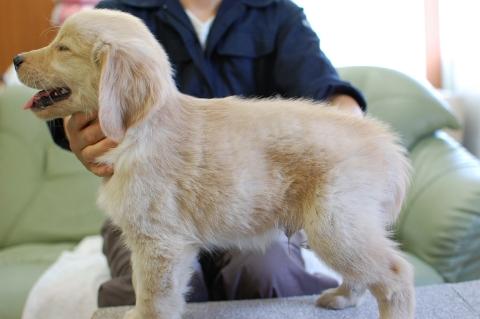 ゴールデンレトリバーの子犬の写真201306181-2