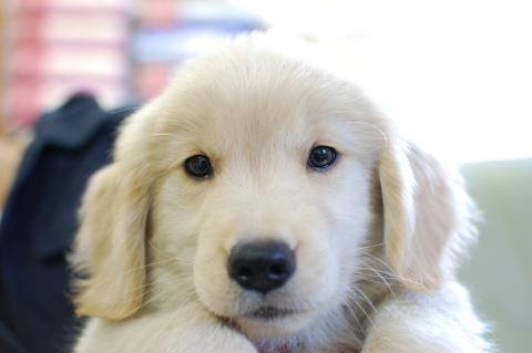 ゴールデンレトリバーの子犬の写真201306185