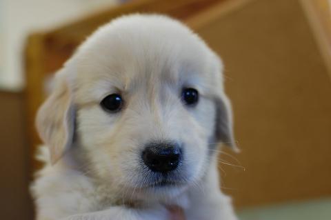 ゴールデンレトリバーの子犬の写真201307163