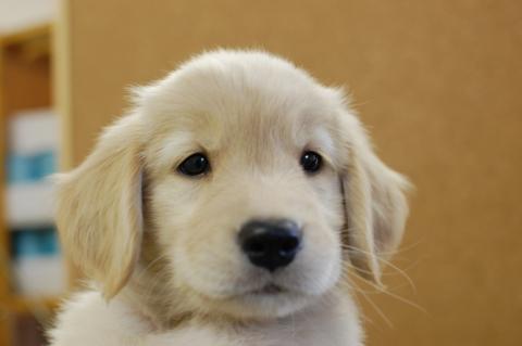 ゴールデンレトリバーの子犬の写真201307164