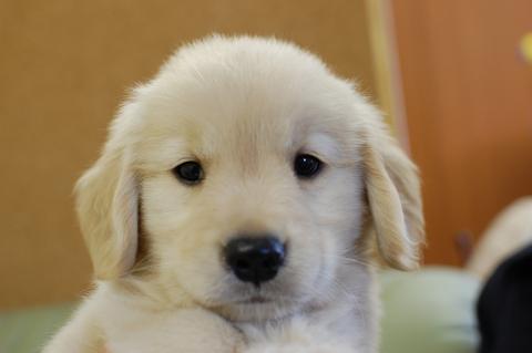ゴールデンレトリバーの子犬の写真201307161