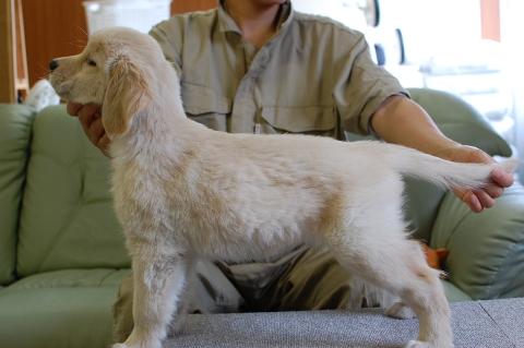 ゴールデンレトリバーの子犬の写真201307164-2