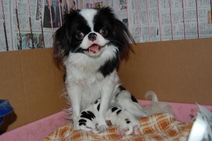 狆の子犬の写真2