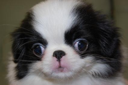 狆(チン)の子犬の写真No.201001012