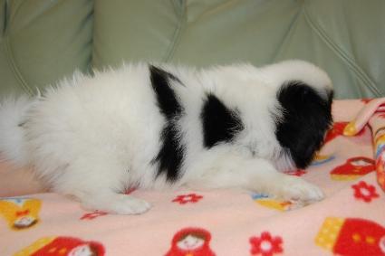 狆(チン)の子犬の写真No.201001011-2