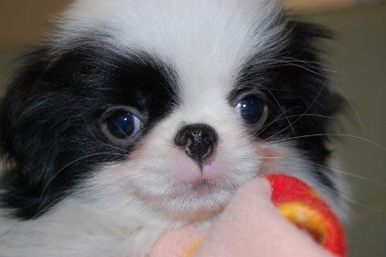 狆(チン)の子犬の写真No.201001011