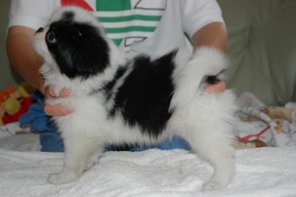 狆(チン)の子犬の写真No.201106151-2