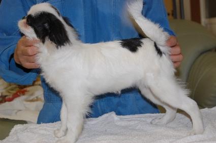 狆(チン)の子犬の写真No.201106152-2