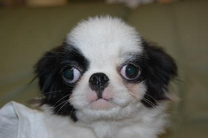狆(チン)の子犬の写真No.201106152
