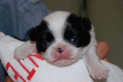 狆の子犬の写真201207121