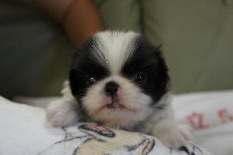 狆の子犬の写真201207122